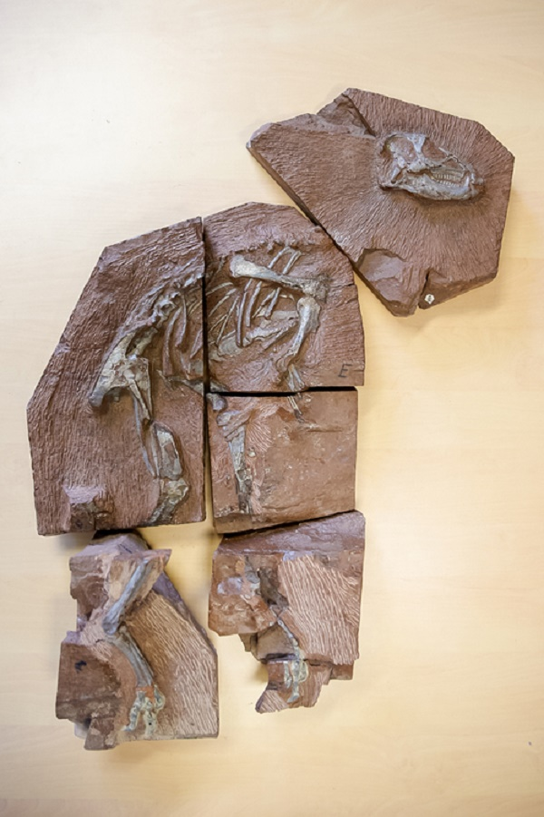 Researchers scan most complete heterodontosaurus skeleton ever found