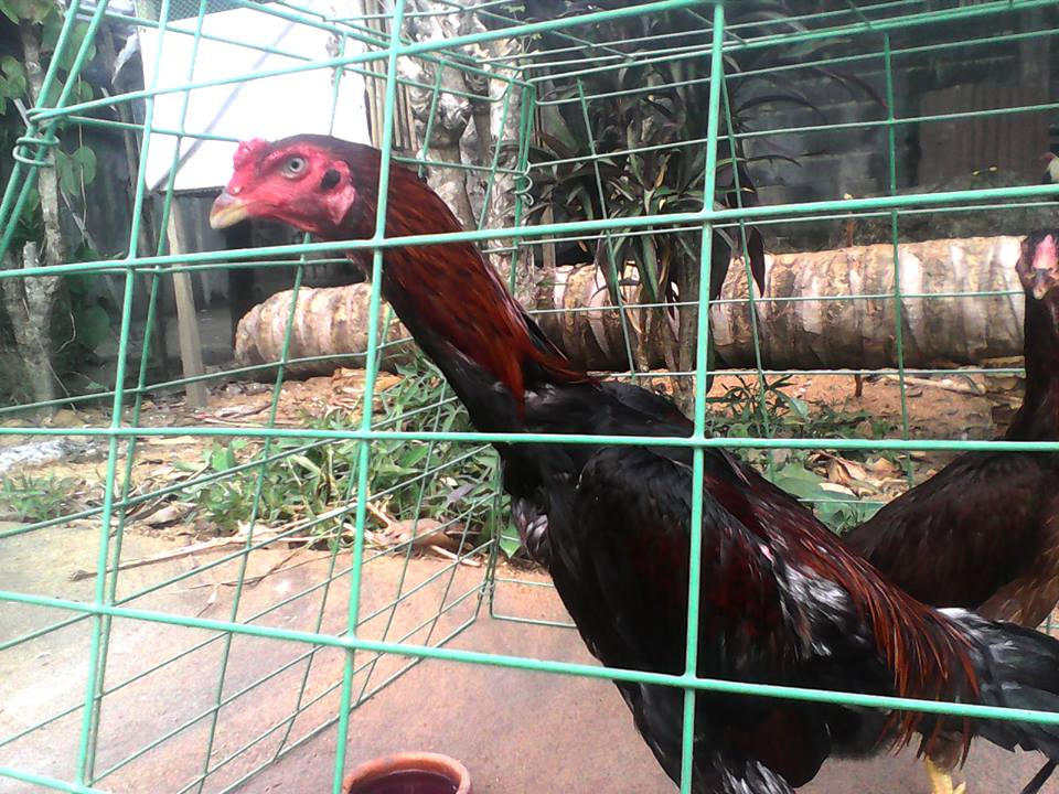 Gamefowl breeders: Shamo and Aseel