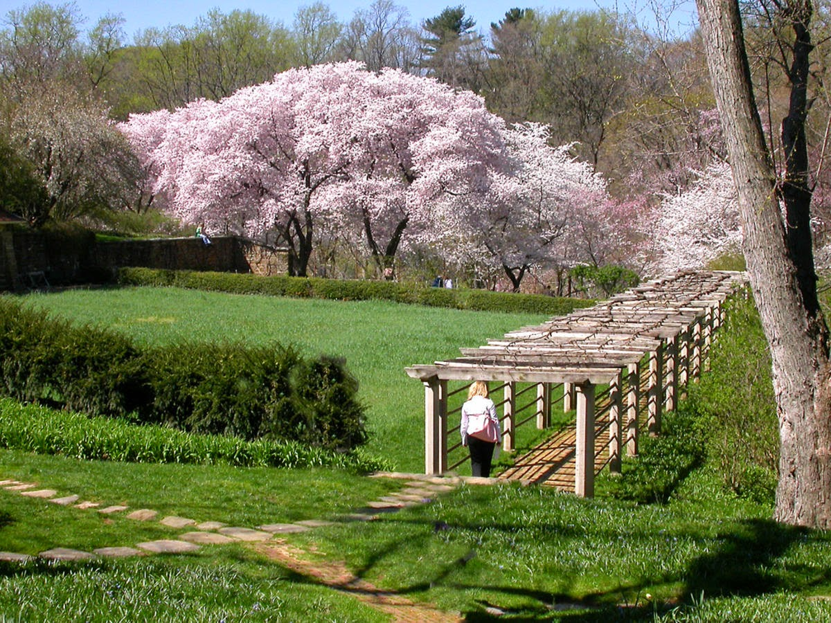 Dumbarton Oaks At Cherry Blossom Time
