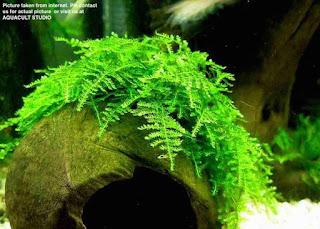 Tanaman Moss Terbaik Untuk Aquascape
