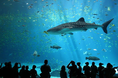 whale-shark-قرش الحوت