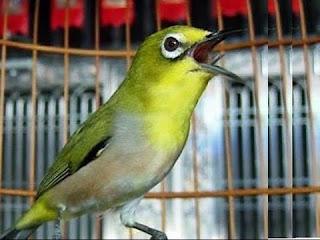 Tips khusus tentang makanan dari burung pleci juara