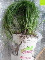 Erde: Katzengras - Cyperus alternifolius - 3 Pflanzen - zur Verdauungsunterstützung von Katzen