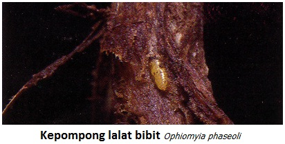 Mengenal Bioekologi Lalat Bibit Kacang Pada Tanaman Kedelai Sebagai Hama