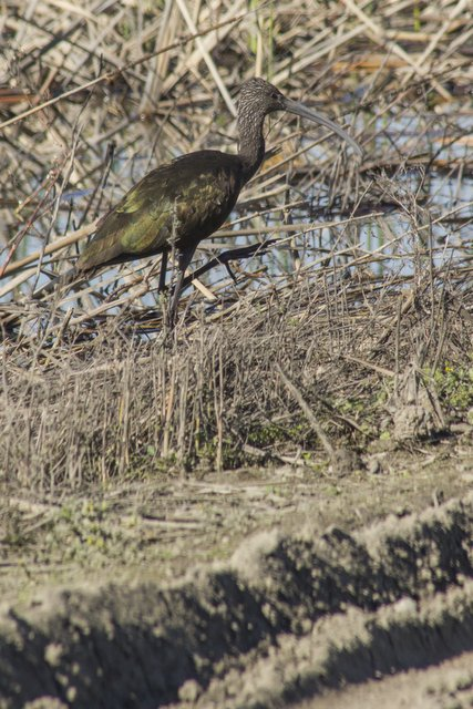 Yolo Bypass white faced ibis