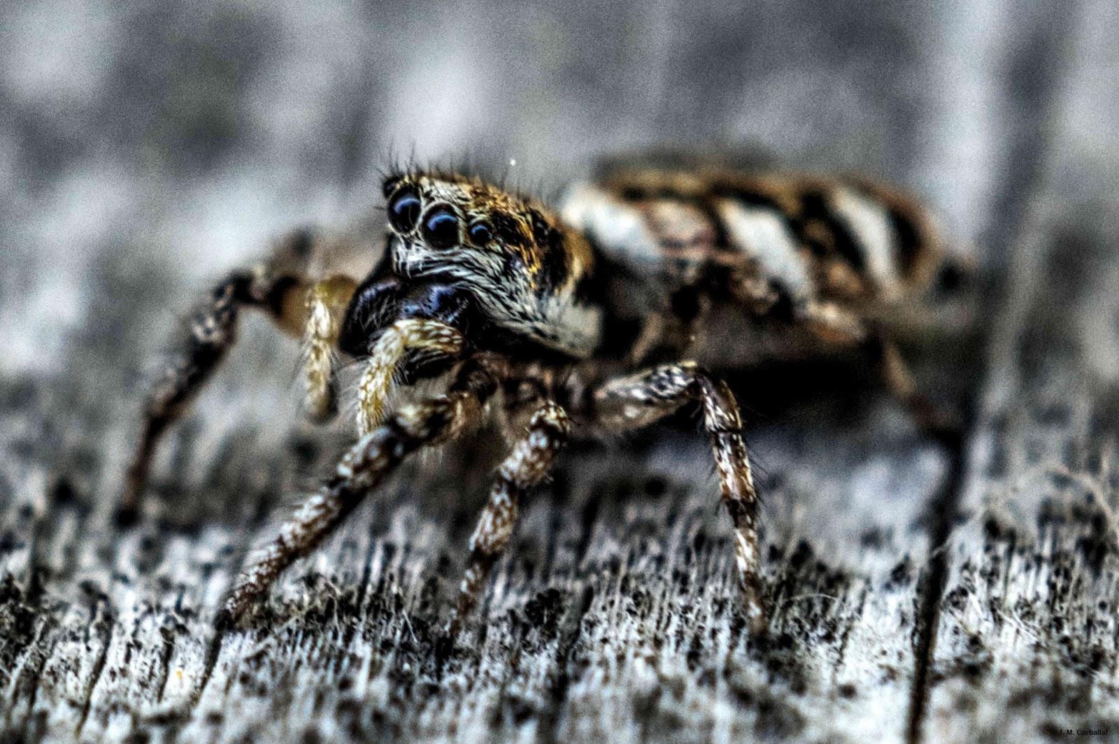 El Blog de Isa y Juan: Salticidae en la Península Ibérica