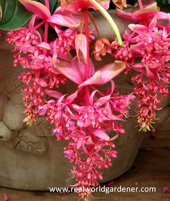 1-Medinilla_orchid3.jpg