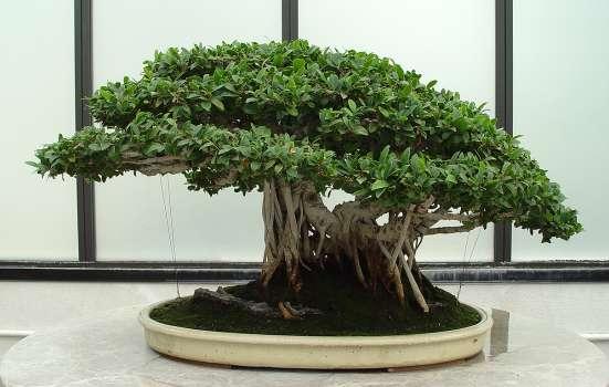 ficus benjamina bonsai tool descriptions. Black Bedroom Furniture Sets. Home Design Ideas