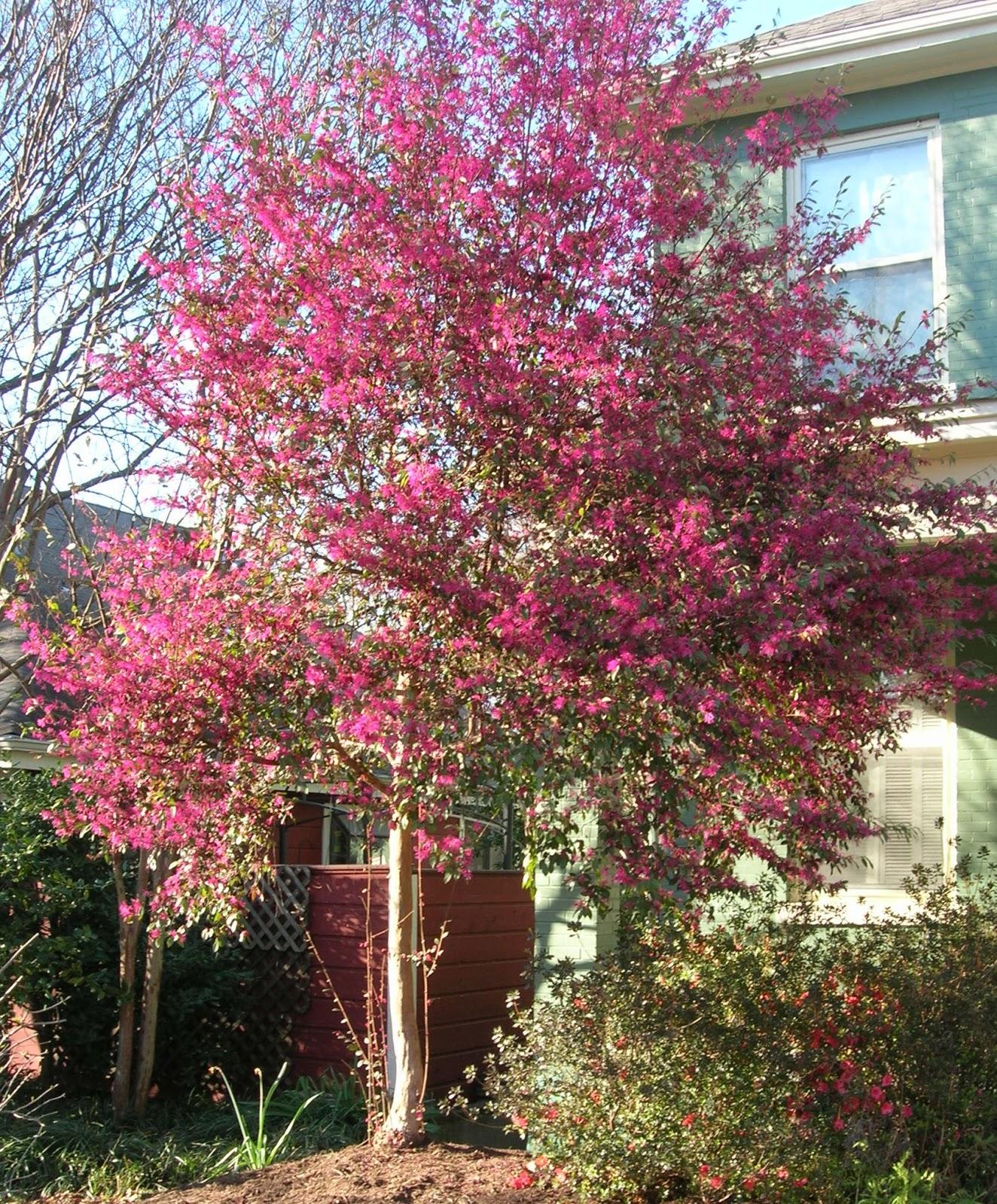 Garden musings from memphis area master gardeners loropetalum for Garden trees memphis
