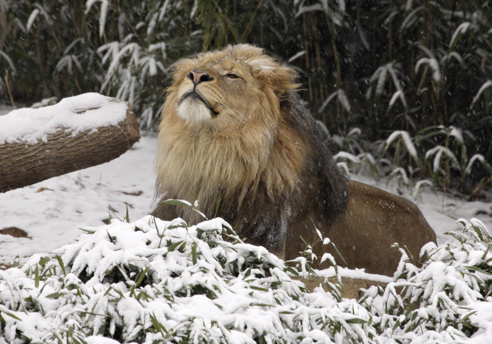 animals snow amazing lion wonderful winter animal cute playing creatures adorable labels
