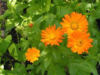 marigold herb