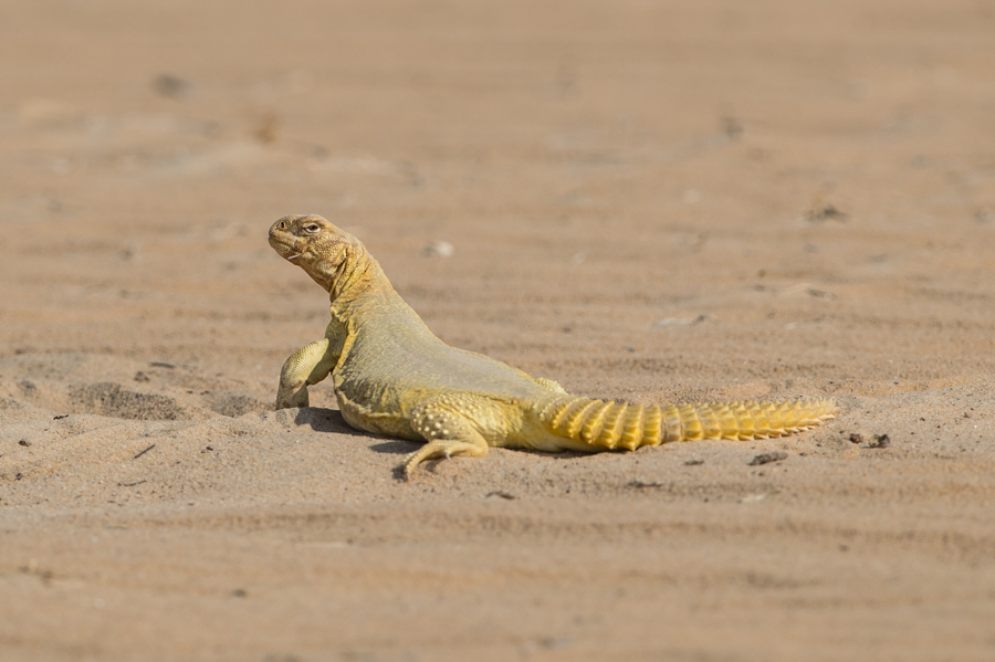 Arabian Spiny-tailed Lizard – Ash Shargiyah Development Company Farm