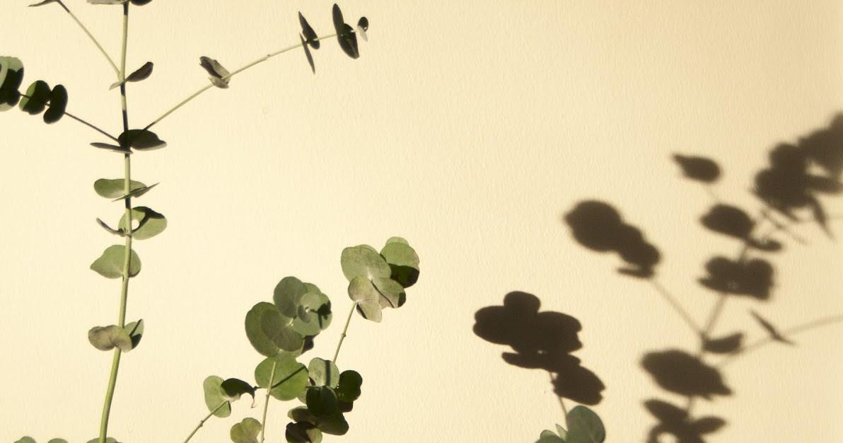 Hopeaeukalyptus