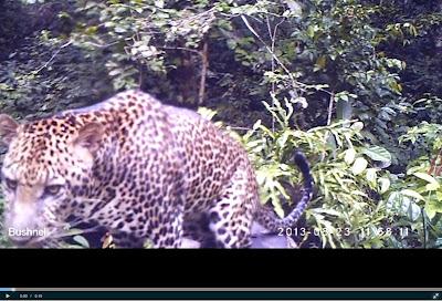 Matchmaking leopardi