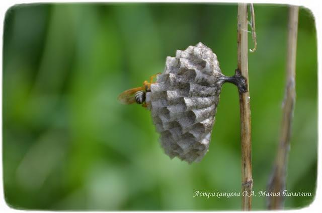 гнездо осы полиста
