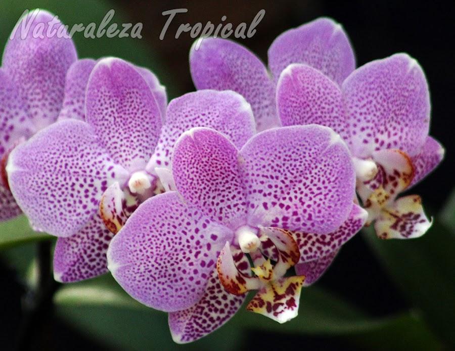 Pétalos y sépalos rosados con numerosas manchas violetas y labelo blanco amarillento con manchas violáceas. Orquídea Mariposa (género Phalaenopsis)