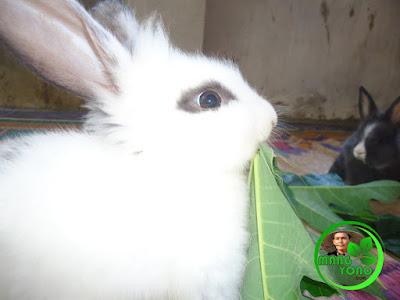 Anak Kelinci makan daun Pepaya