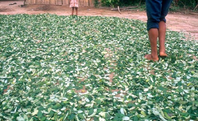 La coca del Chapare no es considerada como hoja tradicional / ARCHIVOS