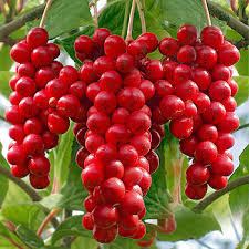Schisandra Chinensis Fruit Extract