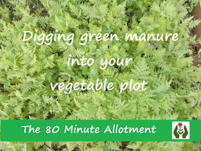 Digging in green manure 80 Minute Allotment Green Fingered Blog