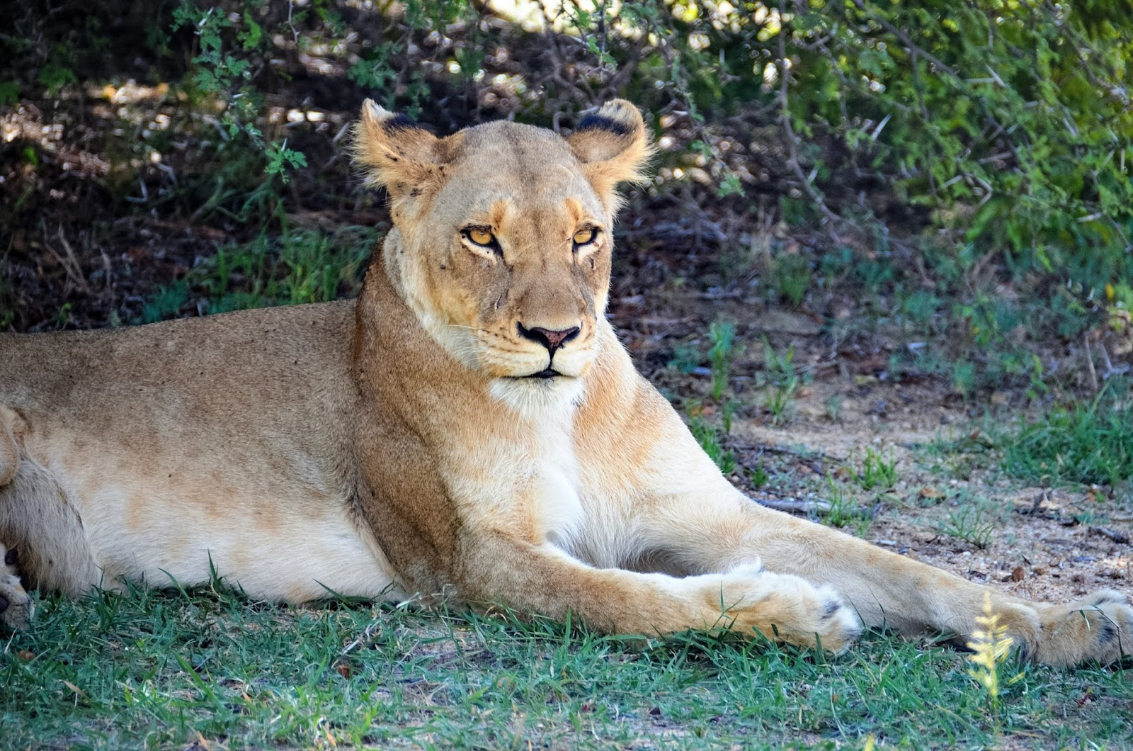 lion in greater kruger