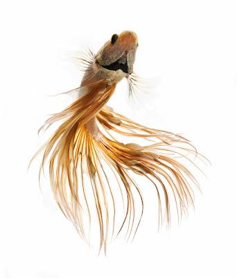 Kumpulan Jenis Ikan Cupang yang Menakjubkan - Marlique