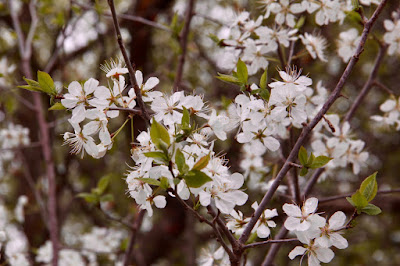 wild plum blossoms herald Spring's arrival