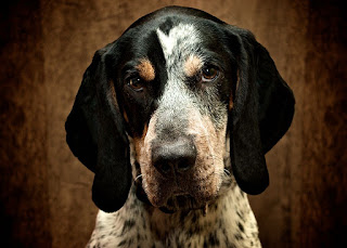 Bluetick Coonhound-pets-dogs-dog breeds