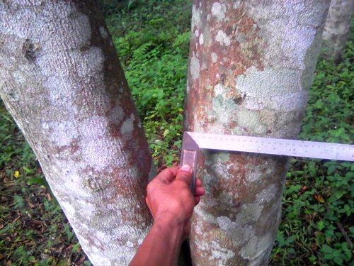 Bibit Sawit Karet Dan Aren Jual Tegakan Pohon Gaharu