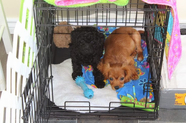 Training puppies in a crate