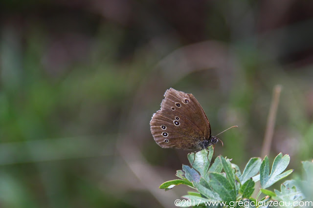 Le Tristan, Aphantopus hyperantus, Fontainebleau