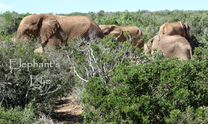 Addo bush with elephants