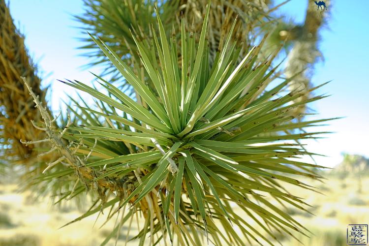 Le Chameau Bleu - Joshua Tree de la californie du Sud - USA  - Flore de la Californie