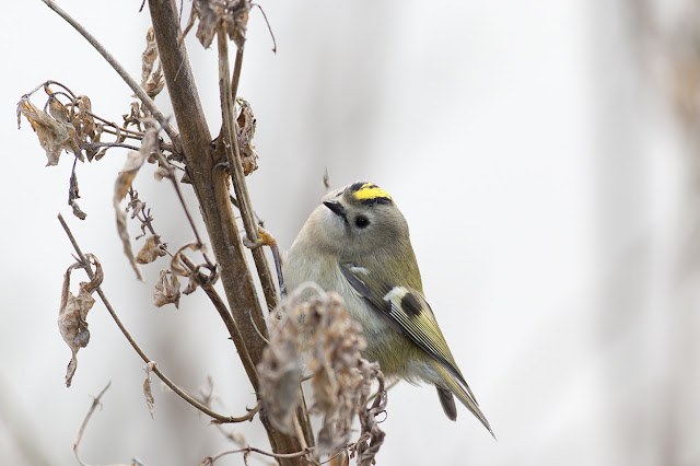 Up close and personal with a Goldcrest