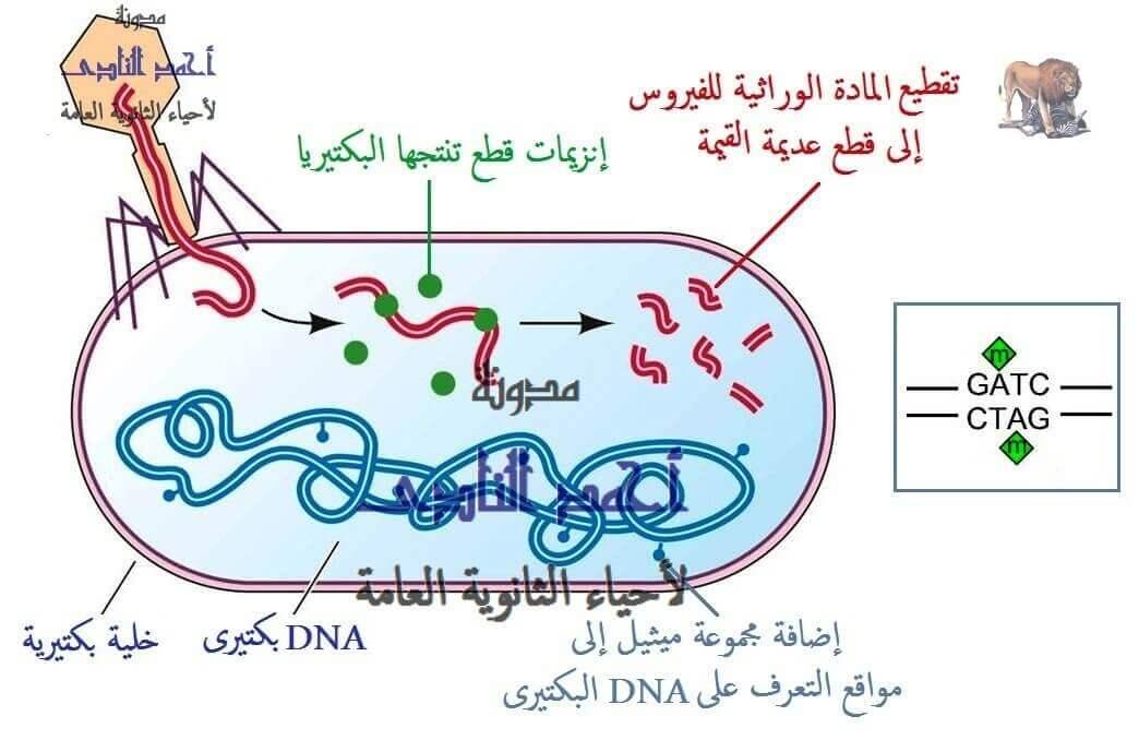 إنزيمات القصر ( القَطع )  البكتيرية  - أحياء الثالث الثانوى - إيشيريشسا كولاى e.coli