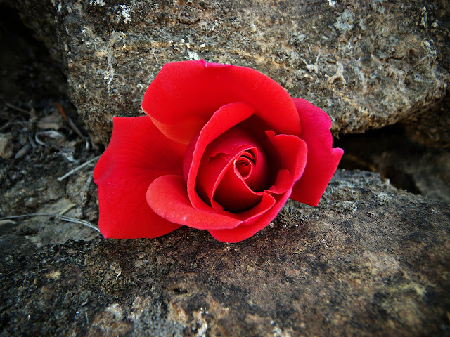 Red Rose Tucked in a Rock