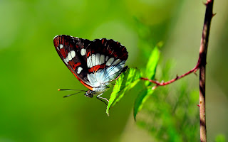 Butterfly on Green Leaf Awesome HD Wallpaper