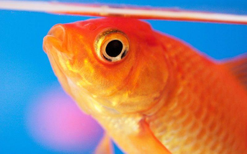 Image Can Goldfish Eat Betta Fish Food
