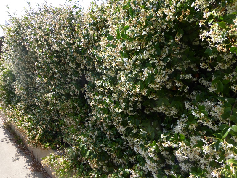 wall of 5 star jasmine