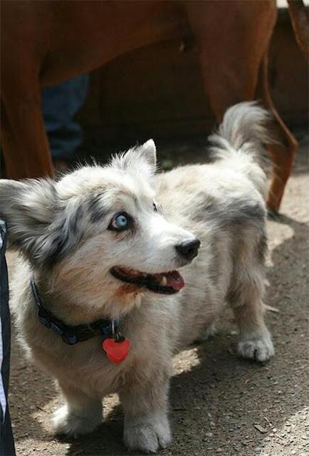 """Corgi thì có lai với giống chó nào cũng """"lộ tẩy"""""""