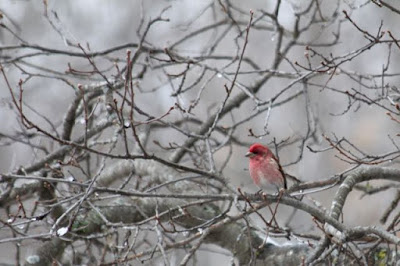 purple finch in oak