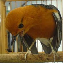 Membiasakan Mandi Malam Burung ANis Merah Supaya Teler