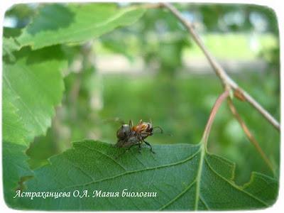береза, магия биологии, муравей, долгоносик грушевый Phyllobius pyri, нападение муравья