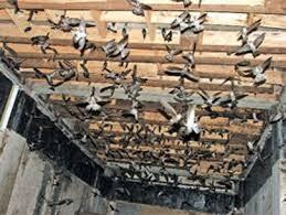 Tìm hiểu về chim yến nhà và đặc điểm của chúng