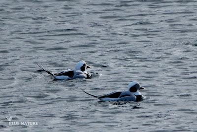 Pato havelda - Long-tailed duck - Clangula hyemalis. Dos machos solitarios. Vimos algunas disputas entre machos, aunque por norma general establecen bandos mixtos en los que se sincronizan para sumergirse.