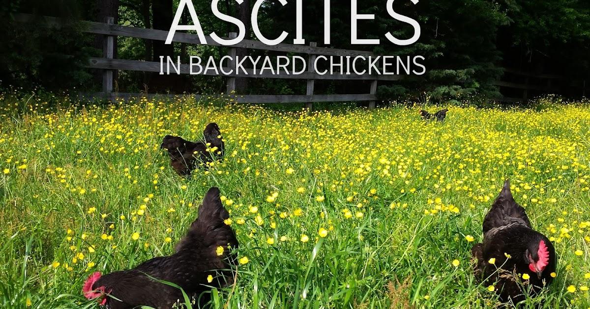 Water Belly or Ascites in Backyard Chicken Flocks | Fresh ...