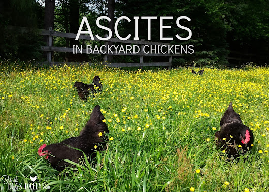 Water Belly or Ascites in Backyard Chicken Flocks