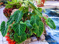 Elephant ear container garden by waterfall pond