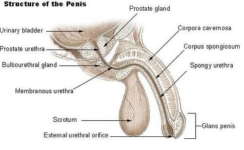 Anatomy of a male orgasm was