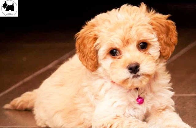 Cutest Dog Breeds, Best Dog, Maltipoo Dog puppies